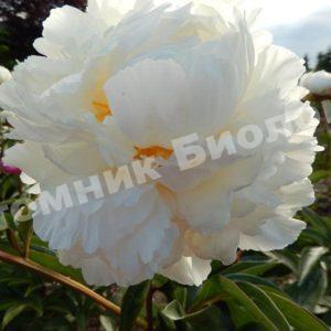 Пион травянистый Мари Лемуан