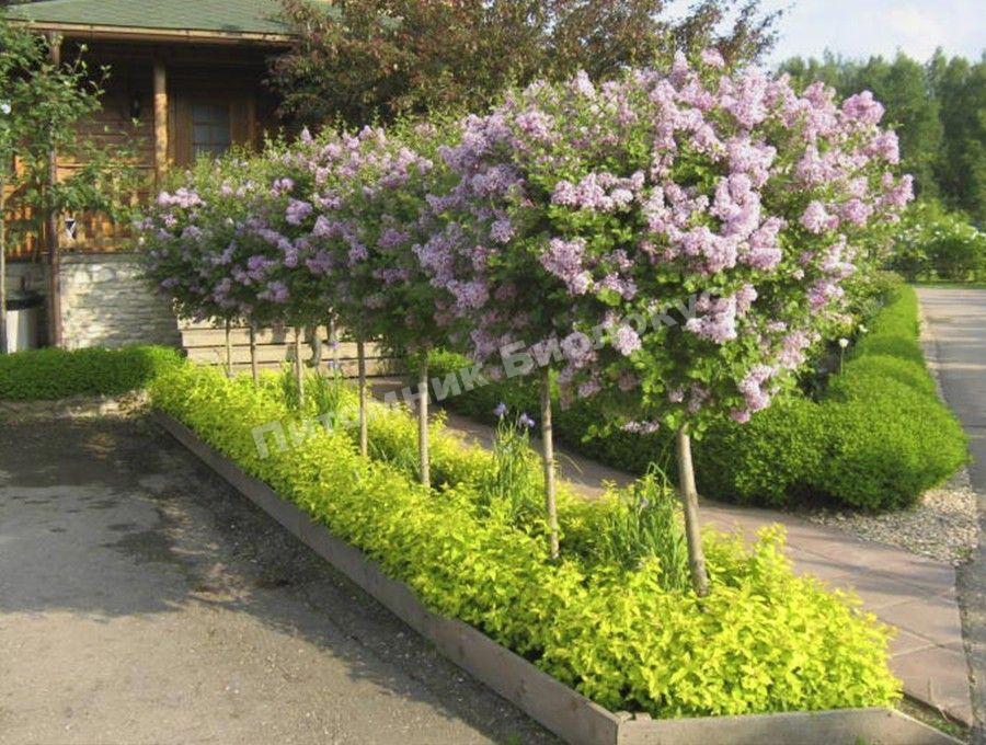 Сирень в саду: как грамотно использовать декоративное растение?