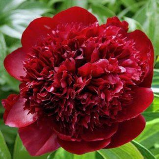 Пион травянистый Ред Чарм