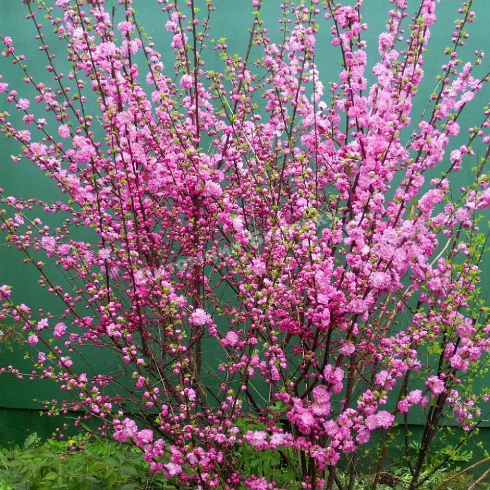 поле природа куст с розовыми цветочками фото прихотливое нуждается