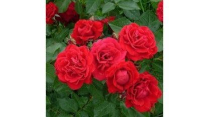 Роза бордюрная Ред Хард