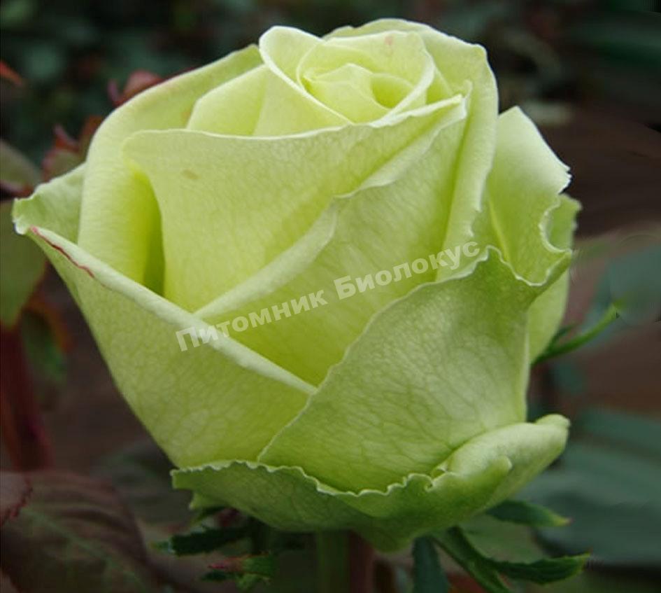 Бокаловидные розы названия и фото красавица