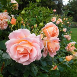 Роза Афродита