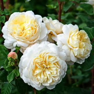 Роза Ленни