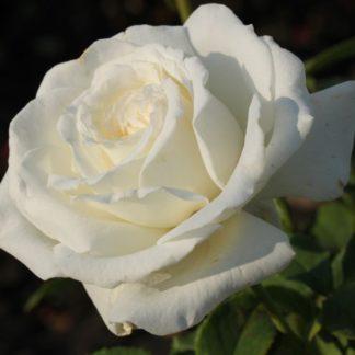 Роза Американ Прайд