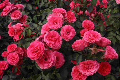 Роза Антик