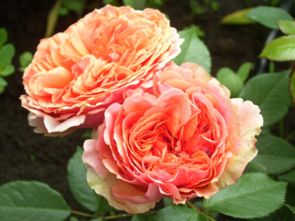 Роза Чип и Дейл