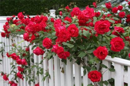 Роза Дебют