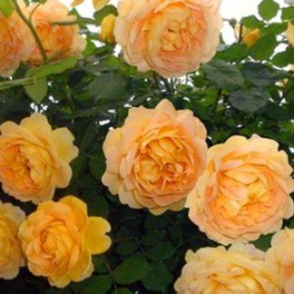 Роза Голден Парфюм
