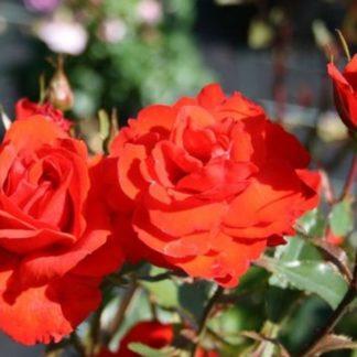Роза Кордес бриллиант