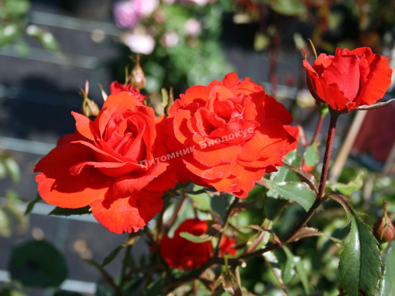 роза бриллиант фото яркости оттенков