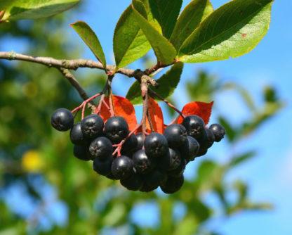 Рябина черноплодная (Арония) Черноокая