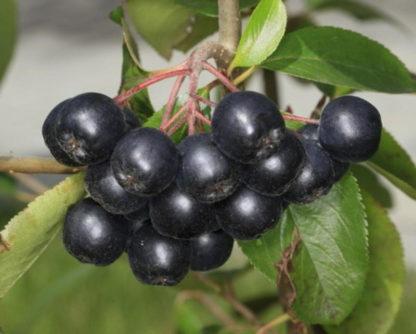 Рябина черноплодная (Арония) Неро