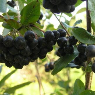 Рябина черноплодная (Арония) Белдер