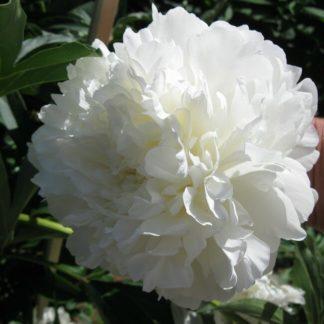 Пион травянистый Сэлмон Глори