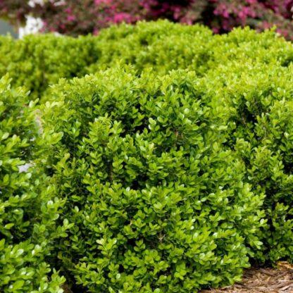 Самшит вечнозеленый мелколистный