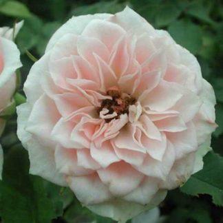 Роза Даниэлла