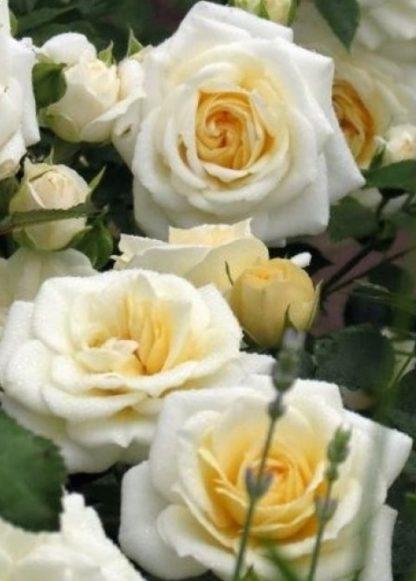 Роза Ханимилк