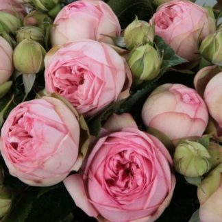 Роза Пиано Чарминг
