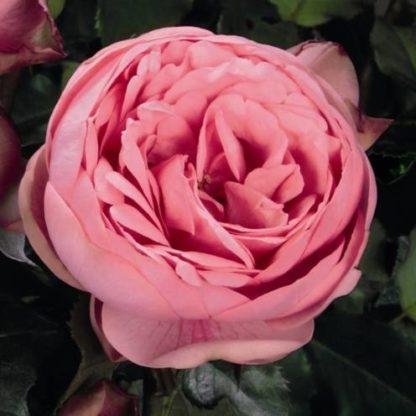 Роза Пиано Хеппи