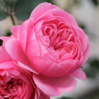 Роза Cтарлет Роуз Ева