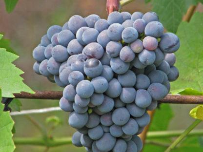 Виноград Муромец