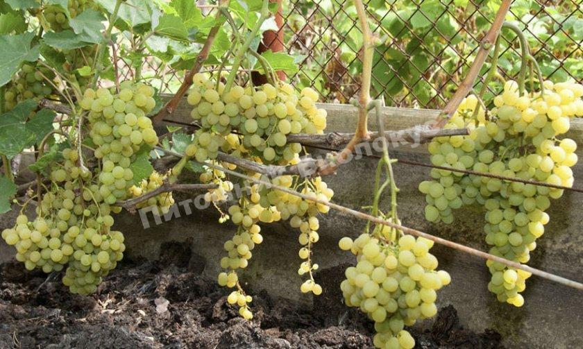 виноград мираж описание сорта фото выходные дни