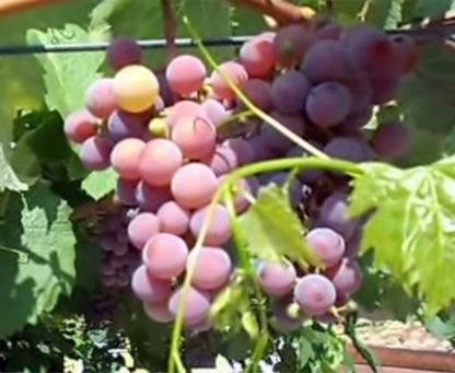 Виноград Награда