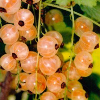 Смородина белая Виноградная