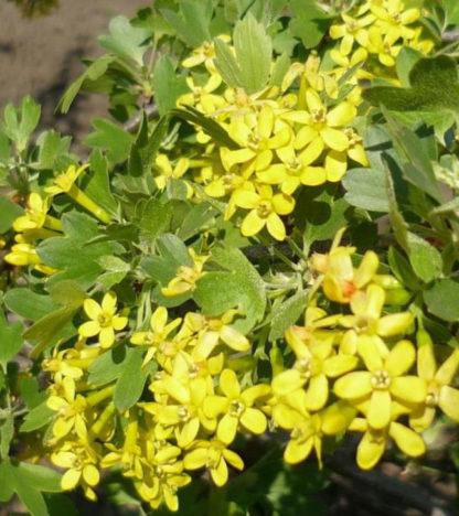 Смородина золотистая Узбекская (Узбекистанская крупноплодная)