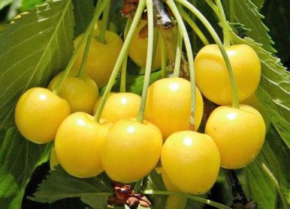 Черешня Приусадебная жёлтая