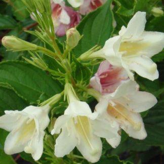 Вейгела цветущая Биколор