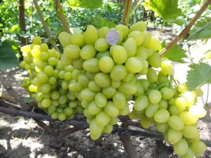 Виноград Аркадия (он же Настя)