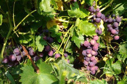 Виноград Кардинал