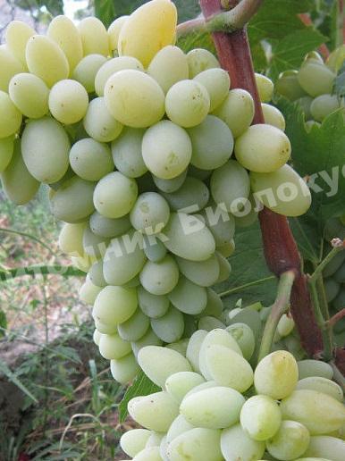 Виноград Кишмиш Нептун