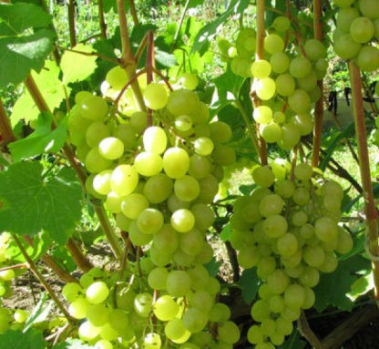 Виноград Краса севера (Ольга)