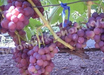 Виноград Розовый жемчуг