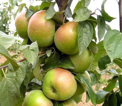 Яблоня Белана