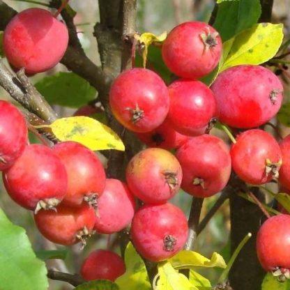 Яблоня Китайка колоновидная
