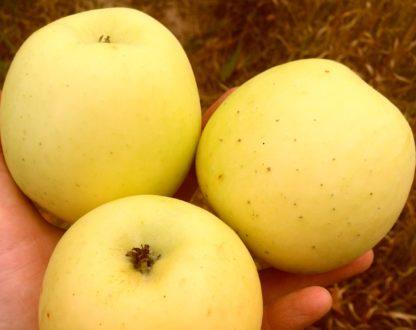 Яблоня Коштеля (Каштель, Каштеля)