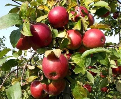 Яблоня Поспех