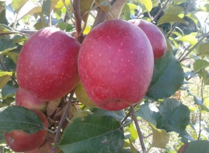 Яблоня Синап