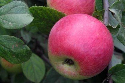 Яблоня Юный Натуралист