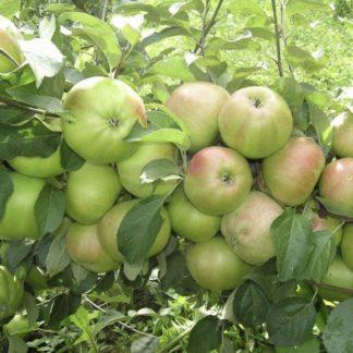 Яблоня Вербное (Вербная)