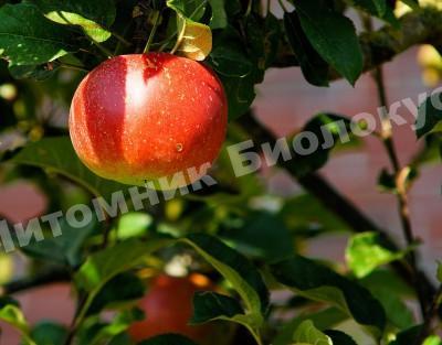 Удачное соседство яблони на участке: как не допустить ошибки?