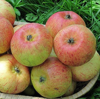 Яблоня Коробовка