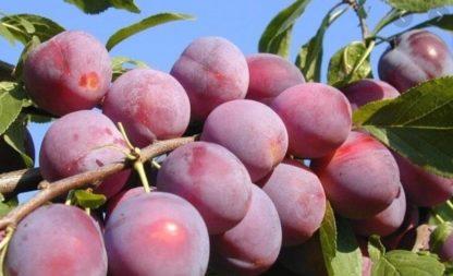 Алыча Пурпуровая